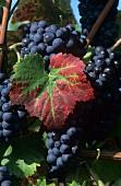 Blaufränkisch grapes