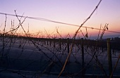 Ice wine vineyard at twilight, Rheingau, Germany
