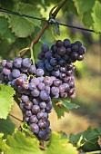 Trollinger grapes