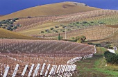Vineyards of Giuseppe Tasca's top estate, Regaleali, Sicily