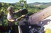 Grape harvest in Tuscany, Italy