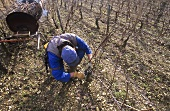 Pruning grape vines using electric pruner