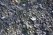 Terroir: limestone soil, Franconia, Germany