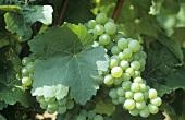 Scheurebe grapes