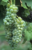 Welschriesling grapes, Austria