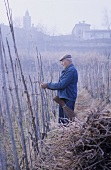 At work in the vineyard: tying in the vines with willow