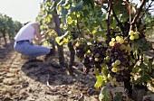 Picking Semillon grapes, Château Nairac, Sauternes
