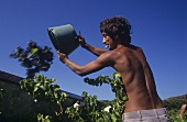 Grape harvest worker at work, Provence, France