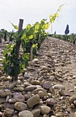 Row of vines on stony soil, Chateauneuf-du-Pape, Rhone, France