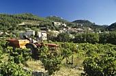 Grape-picking near Gigondas, southern Rhone valley, France