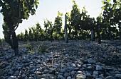Kieselboden bei Graves, Bordeaux, Frankreich