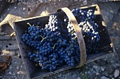 Merlot grapes in basket, Chateau Latour, France
