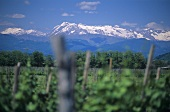 Vineyard near Mariano del Friuli, Monte Matajur behind, Friuli