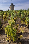Vineyard, Moulin-a-Vent, Burgundy, France