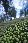 Olive harvest: olives in catching net