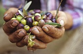 Hands holding fresh olives