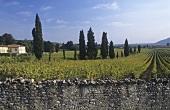 Stone wall around vineyard, Franciacorta, Lombardy, Italy