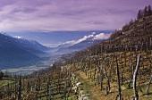 View over vineyard, Tirano, Valtellina, Lombardy, Italy
