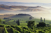 Vineyards around Montalcino,  Tuscany,  Italy
