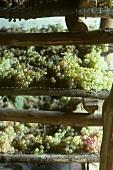 Trauben zum Trocknen auf Gitter für Vin Santo, Toskana