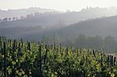 Vineyard,  Greve,  Chianti Classico,  Tuscany,  Italy (morning)