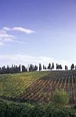 Vineyard of La Madonnina, Greve, Chianti Classico, Tuscany