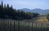 Rows of vines between avenues of cypresses, Bolgheri, Italy
