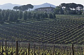 Rows of vines, Bolgheri, Maremma, Tuscany, Italy