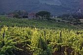 Weinberg der Fattoria Selvapiana, Rufina, Toskana