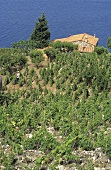 Vineyard on the Island of Elba, Italy