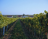 Vineyard of Weinbauverein Feuersbrunn, Wagram, Austria