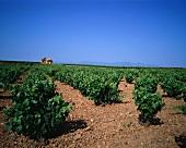 Anbau von Carinena-Trauben, Spanien