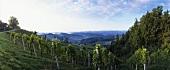 Vineyard near Ratsch, Steiermark (Styria), Austria
