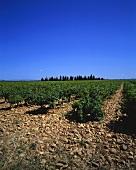 Vineyard near Tavel, Gard region, Rhone Valley