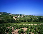 Vineyard in Saint Joseph wine-growing region, Rhone, France