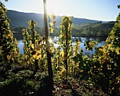 Wine-growing near Ürzig, Mosel-Saar-Ruwer, Germany