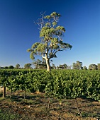 Wine-growing around Padthaway, S. Australia