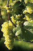 Räuschling grapes, Zürich, Switzerland