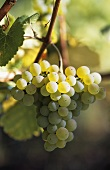 Heida (old Swiss grape variety)