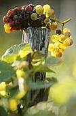 Ermitage grapes