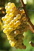 Chasselas grapes (also known as Gutedel, West Switzerland)