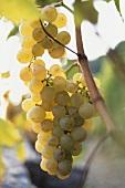 Chasselas grapes on the vine, Lavaux, Lake Geneva, Switzerland
