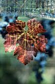 Cabernet Sauvignon leaf, bird netting