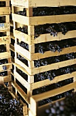 Appassimento (Drying grapes in crates)