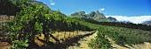 Vineyards in Jonkershoek Valley, Stellenbosch, S. Africa