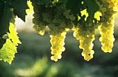 Muskateller grapes, Château Bonnet, Entre-Deux-Mers, France