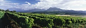 Vineyards of Fairview Estate, Paarl, S. Africa