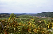 Wine-growing near Durbach, Baden, Germany