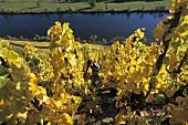 Grape-picking in vineyard, Mosel, Germany