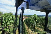 Work in vineyard, Frankweiler, Palatinate, Germany